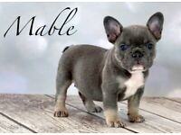 *** FRENCH BULLDOG PUPS *** 3 Available **
