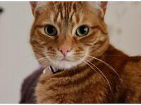 Missing Cat - Ginger Female