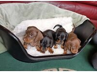 Miniature Dachshund Puppies PRA clear KC registered