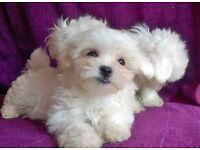 Tiny Maltese terrier puppies. 2boys 1girl
