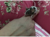 Baby mice cute mouse smaller than rat hamster rodent hand tame cute baby mice ideal pet