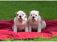 2 British bulldog puppy girls ready to leave to their forever home
