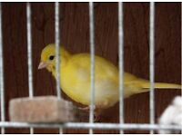 2016 Fife Canaries, various colours,Lightly variegated yellow's and whites