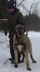 Lévriers irlandais (Irish wolfhound) 1000$ à 2000$
