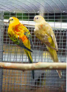 Looking for a Opaline Red Rump Female
