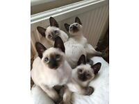 Old Style Siamese kittens , Microchipped + TICA Pedigree