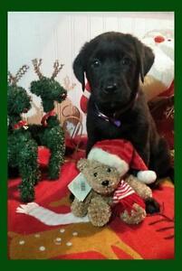 "Baby Male Dog - German Shepherd Dog-Cattle Dog: ""Chibatta"""