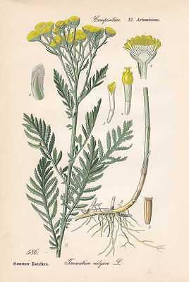 Rainfarn Blumen (Tanacetum vulgare - Rainfarn THOME Lithographie von 1886 Gülden Knöpfle)