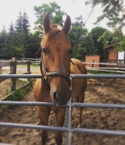 Companion Horse Looking for a Home!!