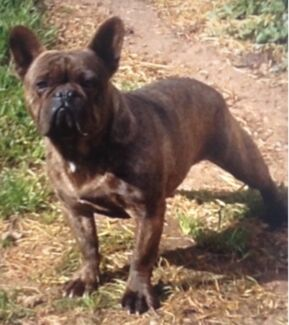 French bulldog male on mains papers 2 years old no time wasters