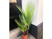 Indoor/outdoor palm tree.