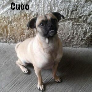 LOVING PUG MIX RESCUE - This boy is ready for adoption