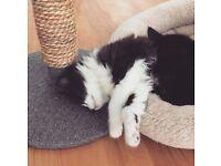 2 Black & White female kittens. Litter trained & eating well