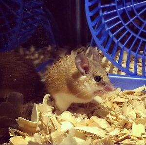 African Spiny Mouse and Equipment
