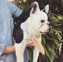 9 month old Pied Female French Bulldog. Hobart CBD Hobart City Preview