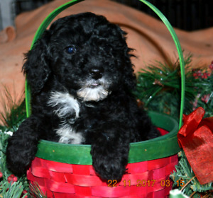 BEAUTIFUL Miniature poodles! Ready Dec 8th weekend