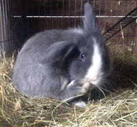 Female lionhead rabbit ** 4 months*
