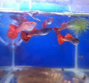 Red Mosaic Lace Guppies