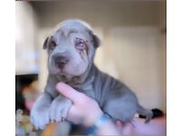 ONLY 3 MALES LEFT! ready now stunning sharpei puppies