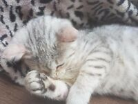 SILVER BENGAL KITTEN. Snow Spotted. MALE. Ready Now!