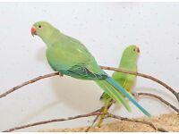 Baby Ring neck talking parrots