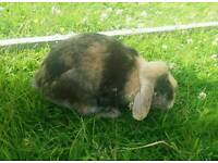 2 LOP EARED RABBITS AND HUTCH