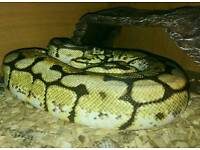 Snake,Bumble bee ball python + viv