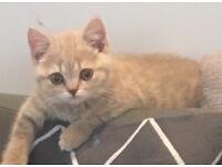female British shorthair kitten