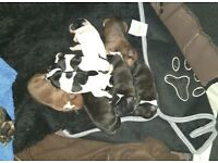Beautiful Staffy Puppies for sale! £300