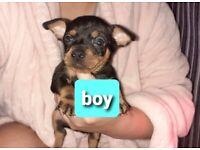 Beautiful litter of miniature pinscher x Merle Chihuahua puppy's