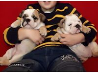 Kennel Club Registered Pedigree Bulldog Puppies