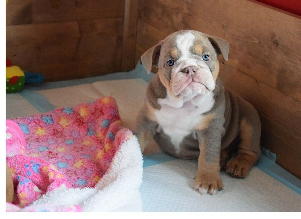 Stunning chunky Olde English Bulldog pups chocolate and lilac | in Kelty,  Fife | Gumtree