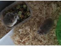 2x dwarf hamsters + cage