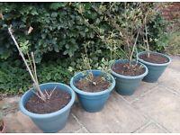 3 Blueberry Bushes & Apricot Tree