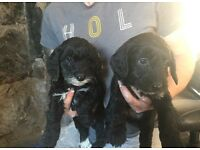 F1 sproodle puppies last 2 remaining