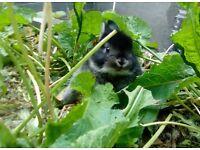 Rabbit ten weeks old dwarf lop cross