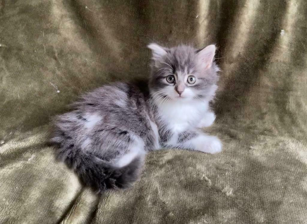 Mix maine ragdoll coon and Maine Coon/Ragdoll