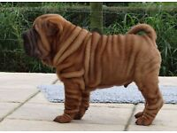 SHAR PEI PUPPIES FATHER SPANISH CHAMPION IMPORT YOU WON'T GET THESE LINE ANYWHERE ELSE IN THE UK