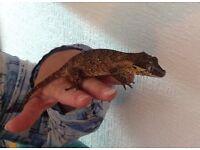 Female gargoyle gecko with full set up