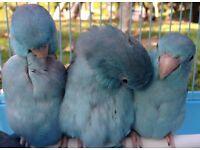 Beautiful blue celestial parrotlets for sale