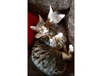 2 Male Kittens 6months old