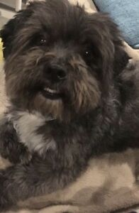 Missing dog! Braybrook Maribyrnong Area Preview
