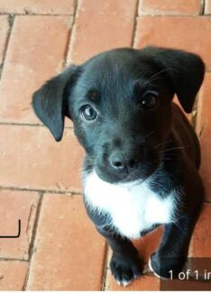 Wanted: WANTED Border collie x Labrador puppy