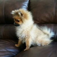 Beautiful CKC reg. Pomeranian for Sale