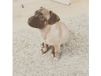 Handsome Jack Russel X Pug Puppy!
