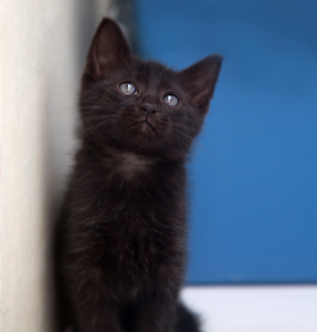 Gadget rescue KITTEN to adopt VET WORK INC Clarkson Wanneroo Area Preview
