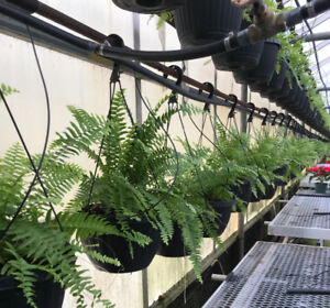 Beautiful, Healthy Greenhouse Ferns for Sale in bulk