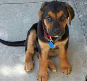 Looking for mix puppy