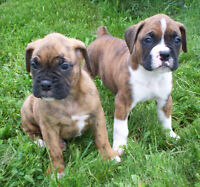 Beautiful Boxer Puppies * SOLD PPU *