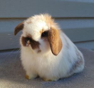 Holland lop baby bunny purebred